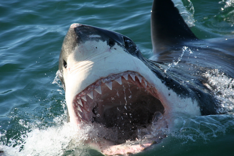 Great Whites Don't Pivot – Evolutionary Thought